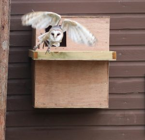 Barn Owl Evan Flying out of the next box during the shows
