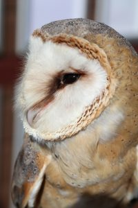 Evan the Barn Owl at Paradise Park Hayle