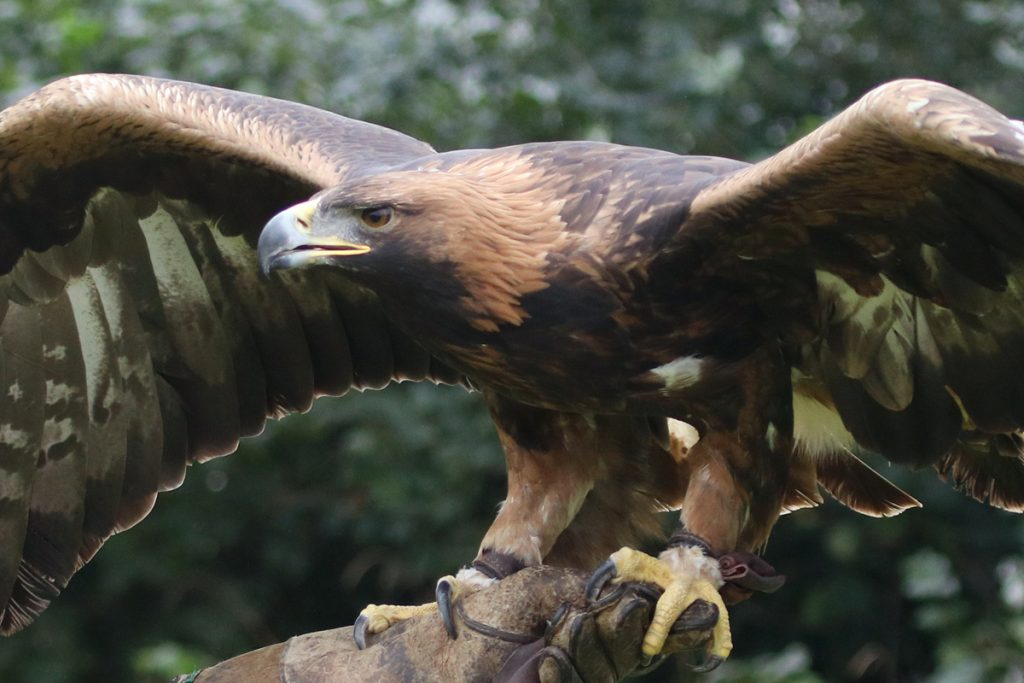 Talis the Golden Eagle