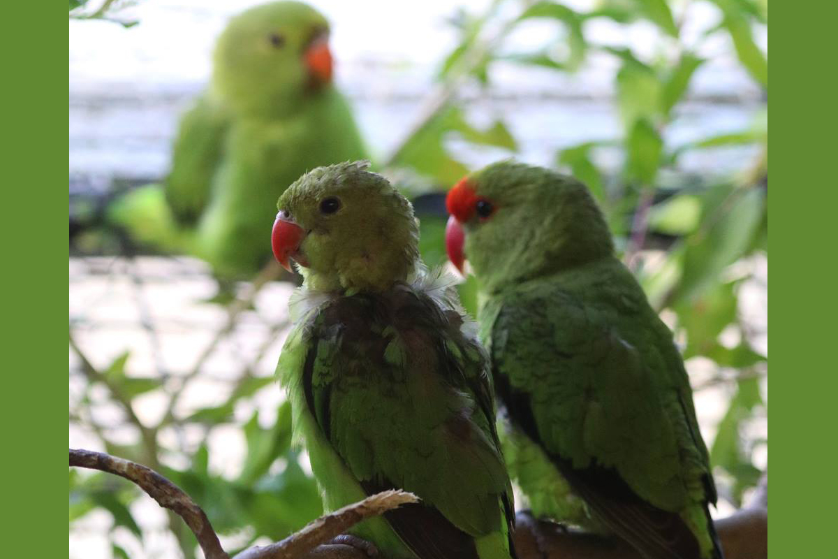 Abyssinian Lovebird family Paradise Park