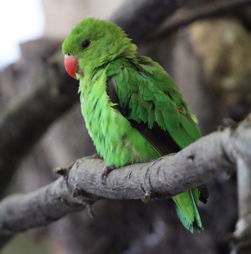 Rosie the Abyssinian Lovebird