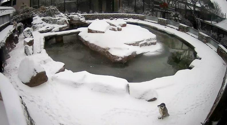 Penguin making footprints