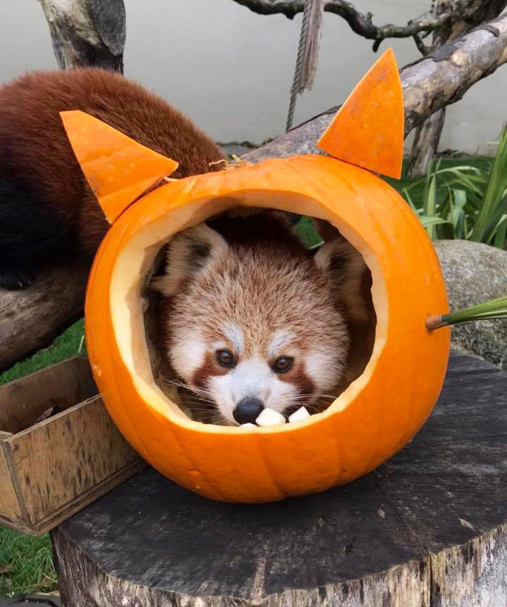 Red Panda having fun at Halloween at Paradise Park Cornwall