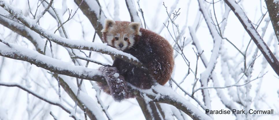 Red Panda in the snow at Paradise Park