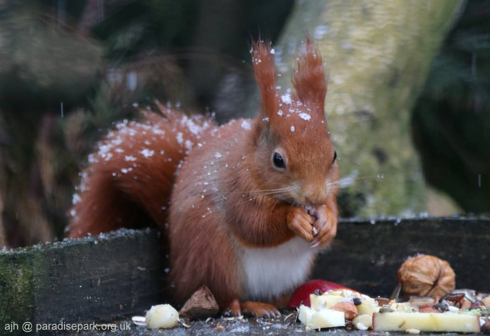 Red Squirrel in snow at Paradise Park