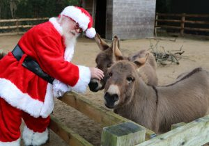 Santa and the donkeys at Paradise Park in Hayle