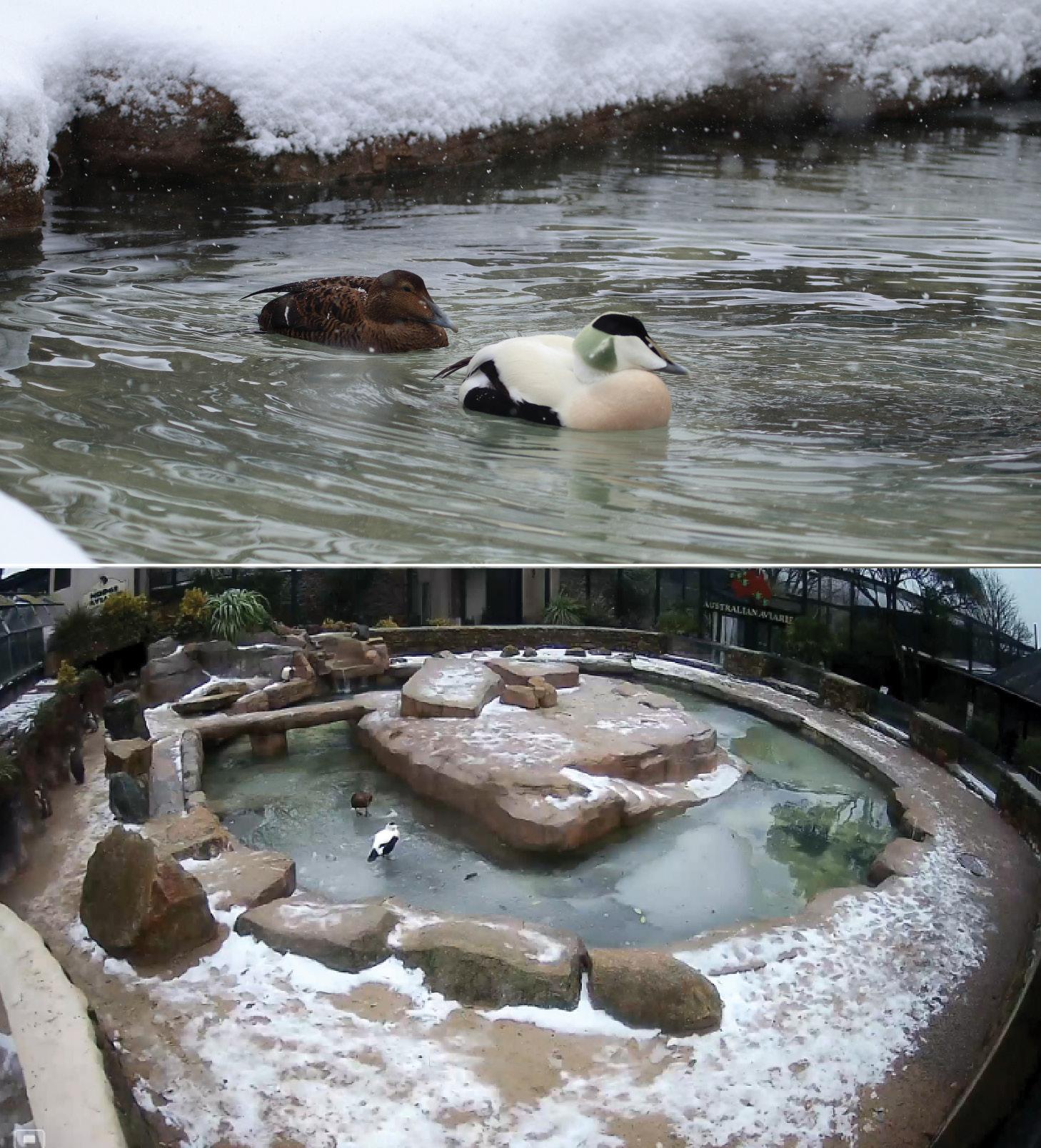 Eider Ducks on Ice