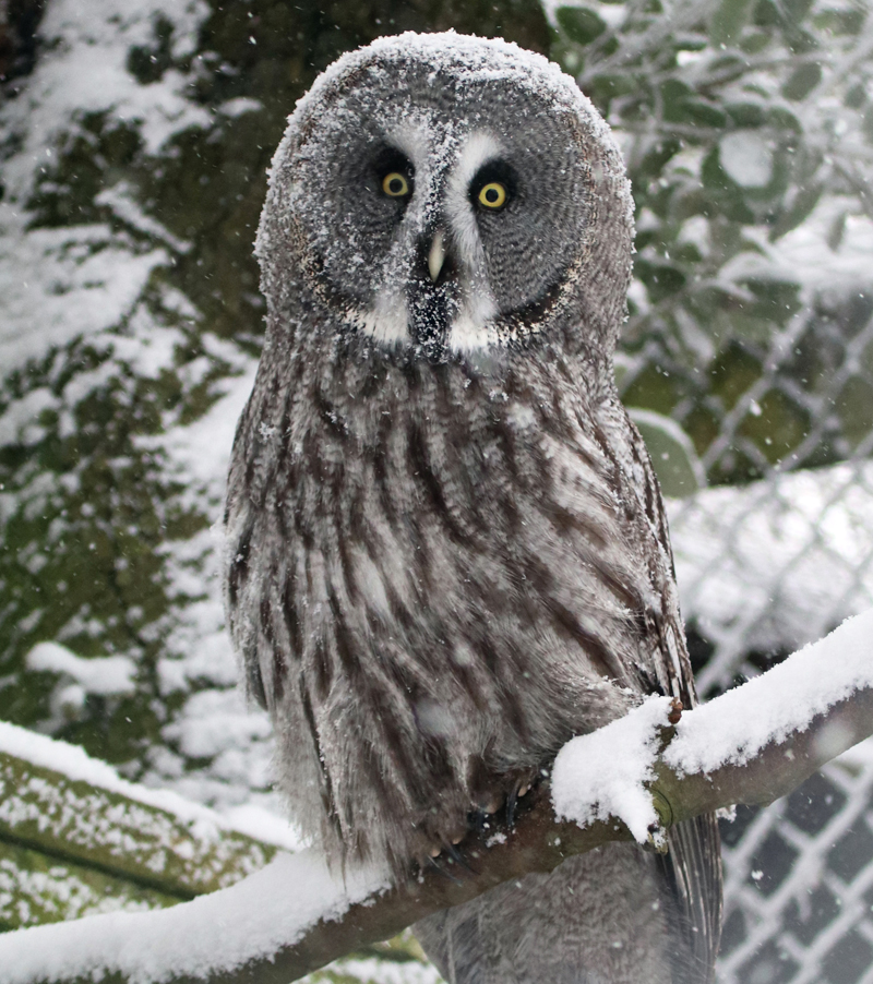 Great Grey Owl at Paradise Park in Hayle