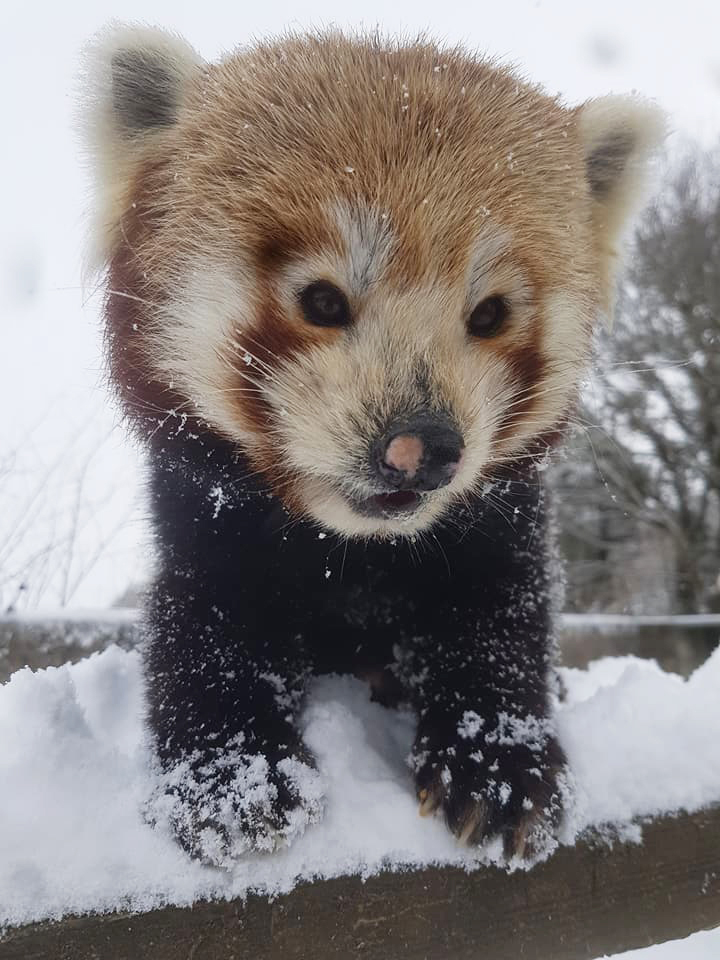 Lang-Za the Red Panda by Leanne Gilbert - Paradise Park in Hayle, Cornwall