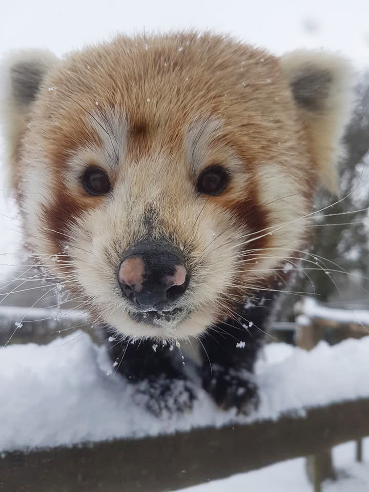 Red Panda by Leanne Gilbert - Paradise Park in Hayle
