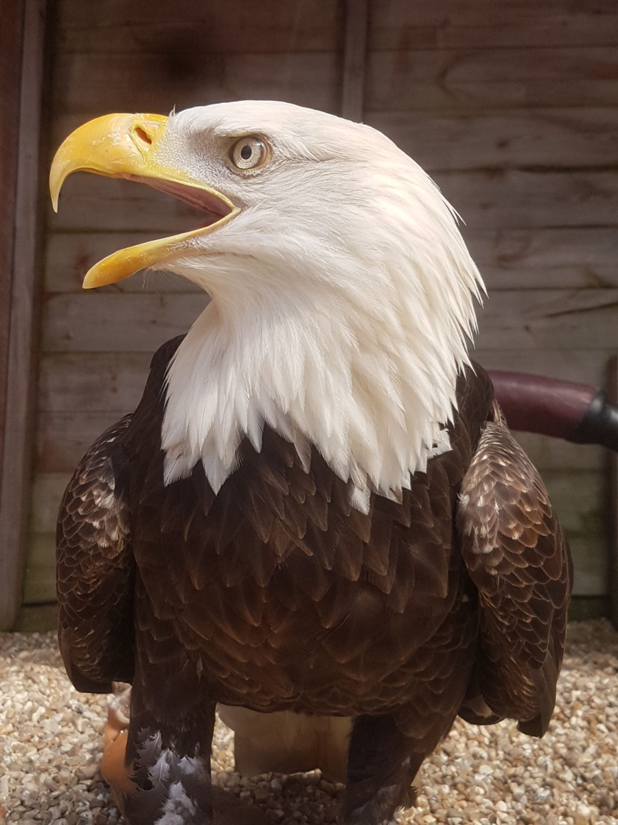 Archie the Bald Eagle by Leanne Gilbert