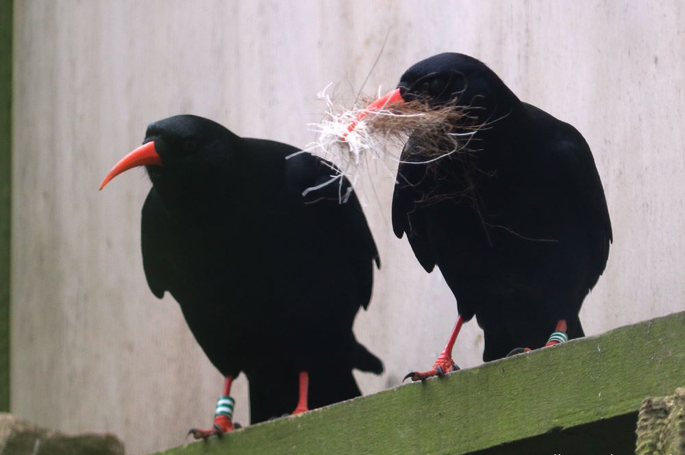 Choughs nest building at Paradise Park