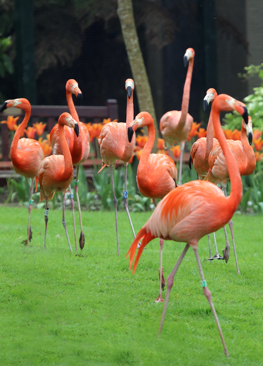 Flamingos Flock to Paradise Park in Hayle