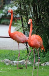 New Flamingos at Paradise Park in Hayle