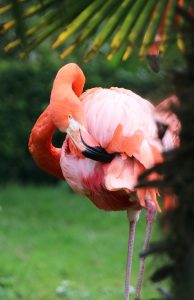 New Flamingos at Paradise Park in Hayle 2