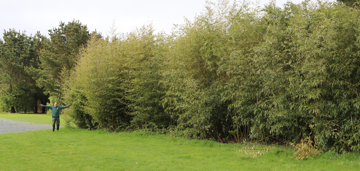 Trevena Cross Nursery - bamboo is one of their specialities