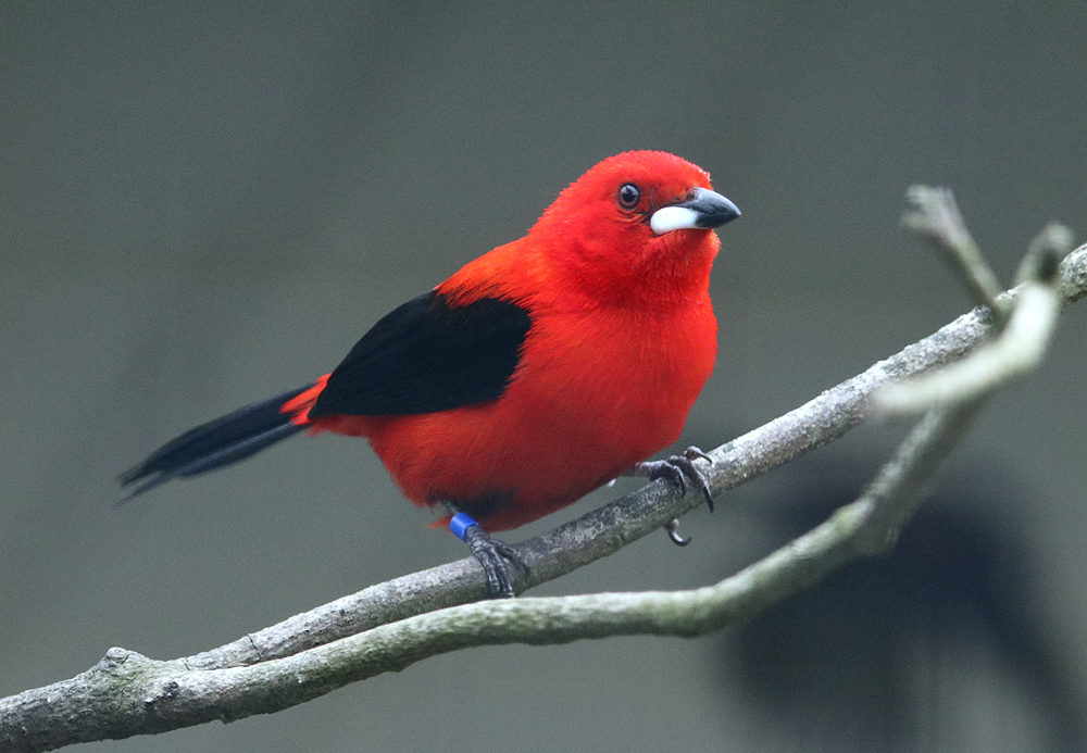 Brazilian Tanager male in full colour