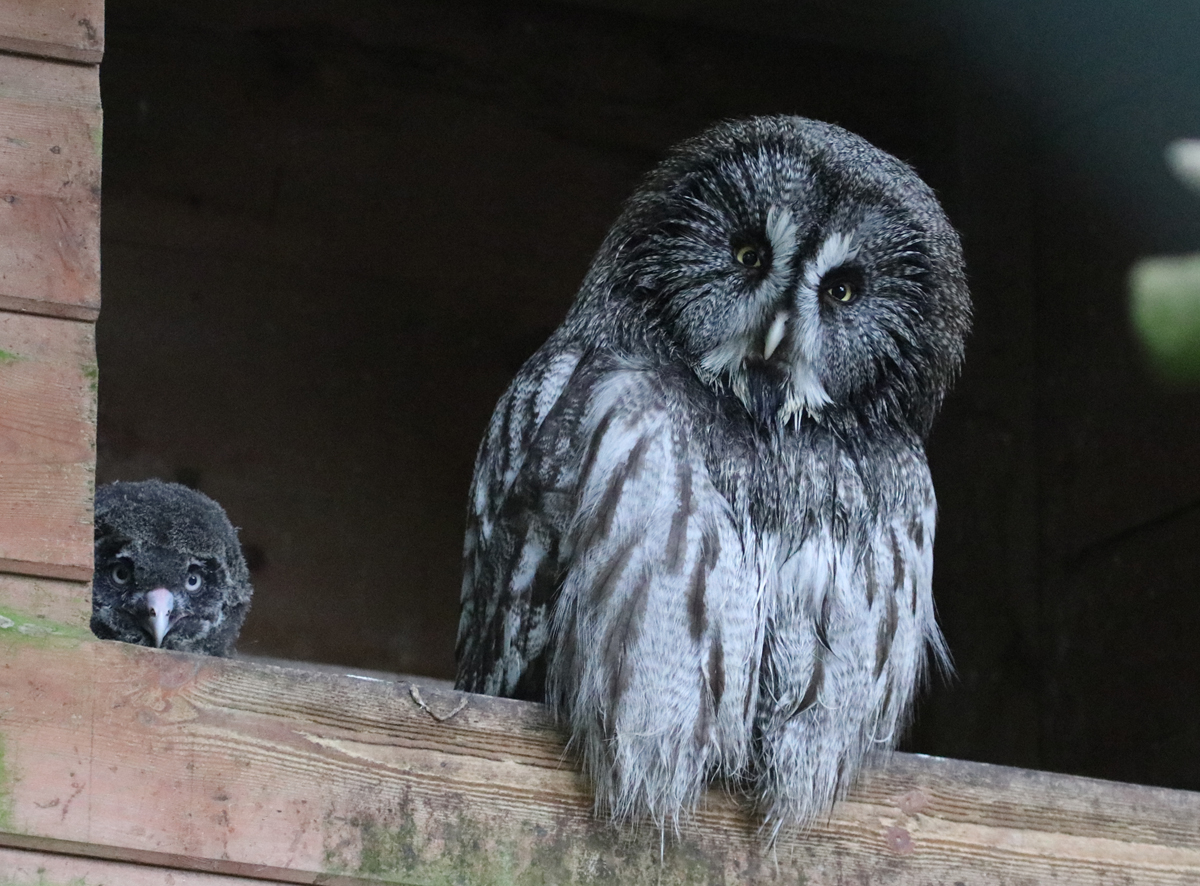 Great Great Owl mum and chick