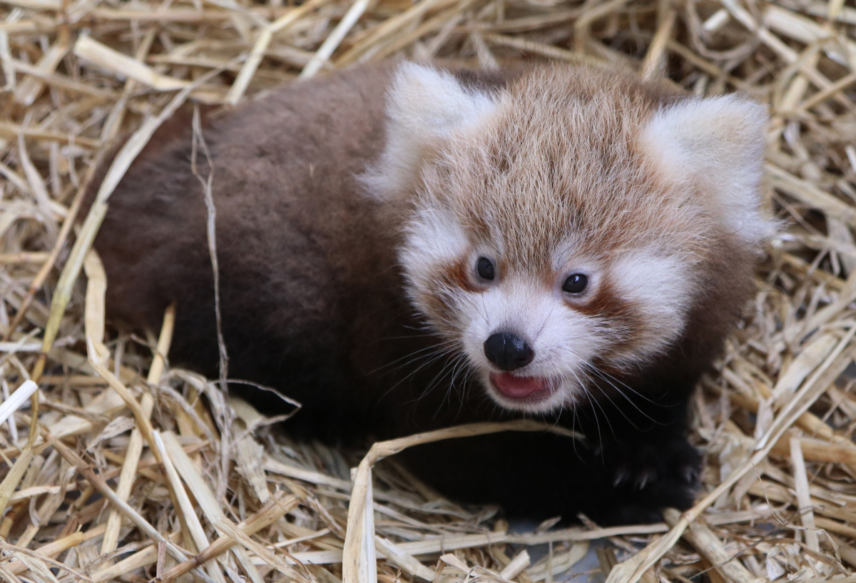 Red Panda cub Koda born 2016
