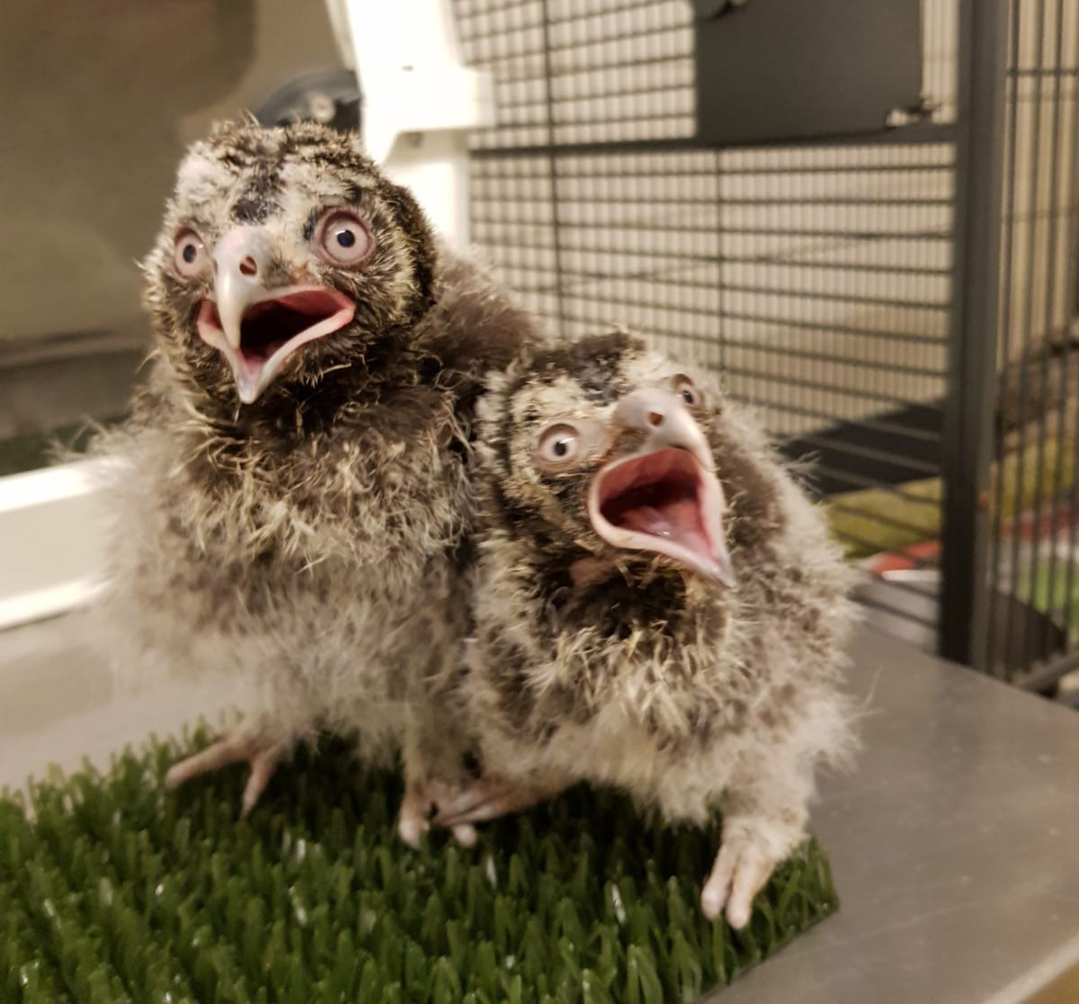 Two hand-reared Great Grey Owl chicks