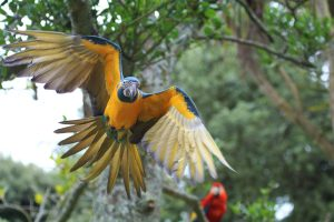 Blue-throated Macaw flying at Paradise Park in Hayle, Cornwall