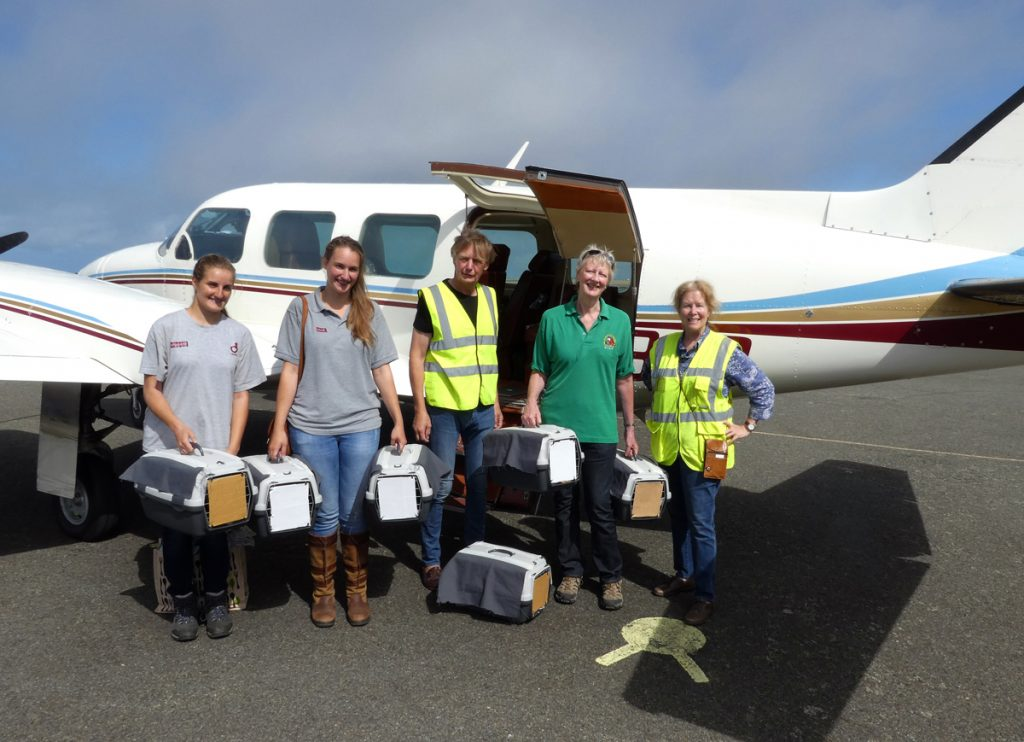 Six Choughs from Paradise Park head off to Jersey with Lee Durrell