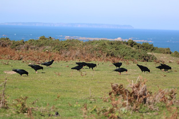 Choughs on Jersey - Operation Chough
