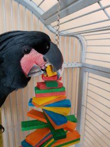 Herbert enjoying an enrichment toy on his Birthday