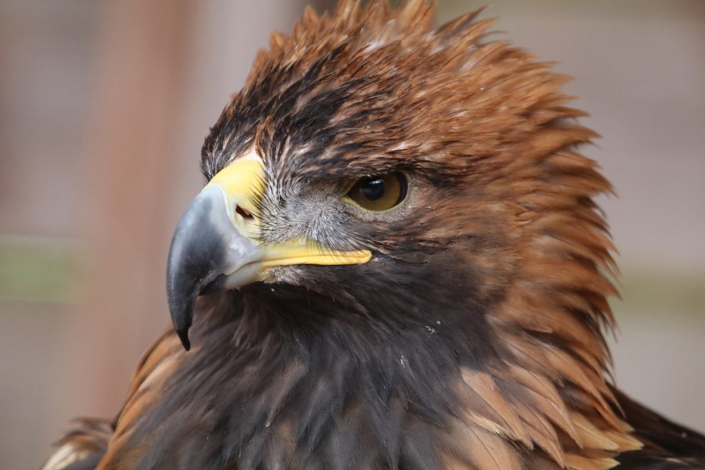 Tallis the Golden Eagle