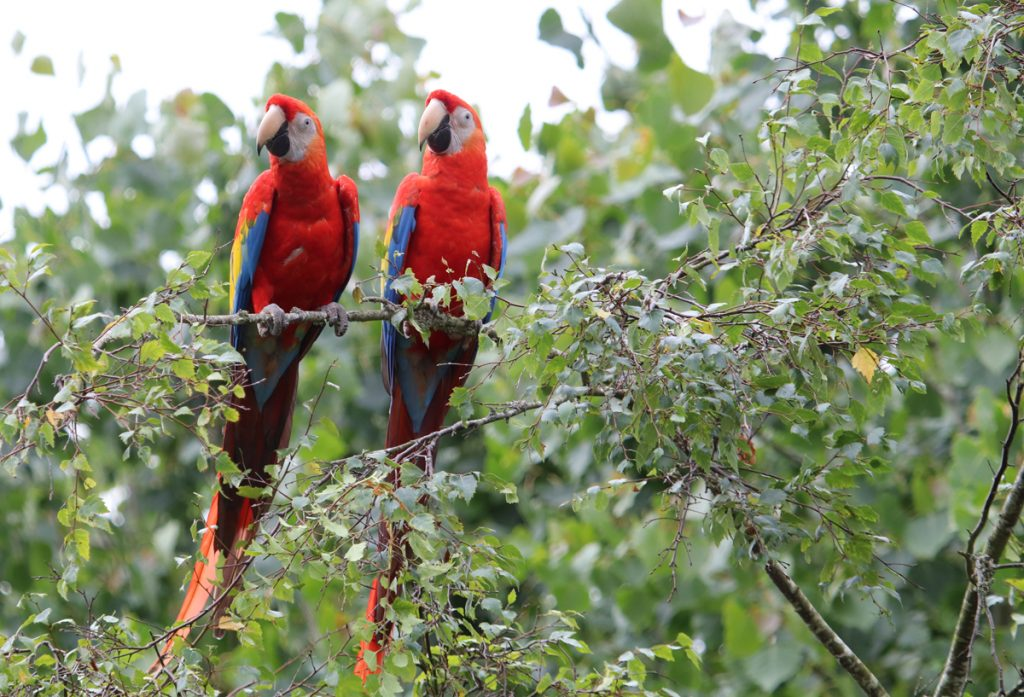Two Scarlet Macaws at Paradise Park in Cornwall