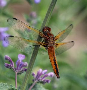 Dragon Fly Scarce Chaser