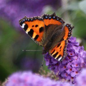 Small Tortoiseshell butterfly on buddelia
