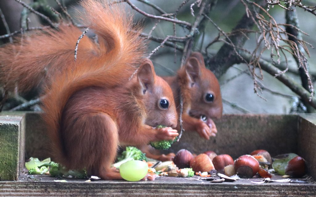 Double Trouble Red Squirrel