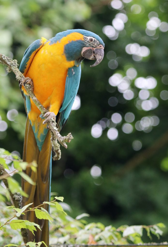 Rare Blue-throated Macaw in flying show