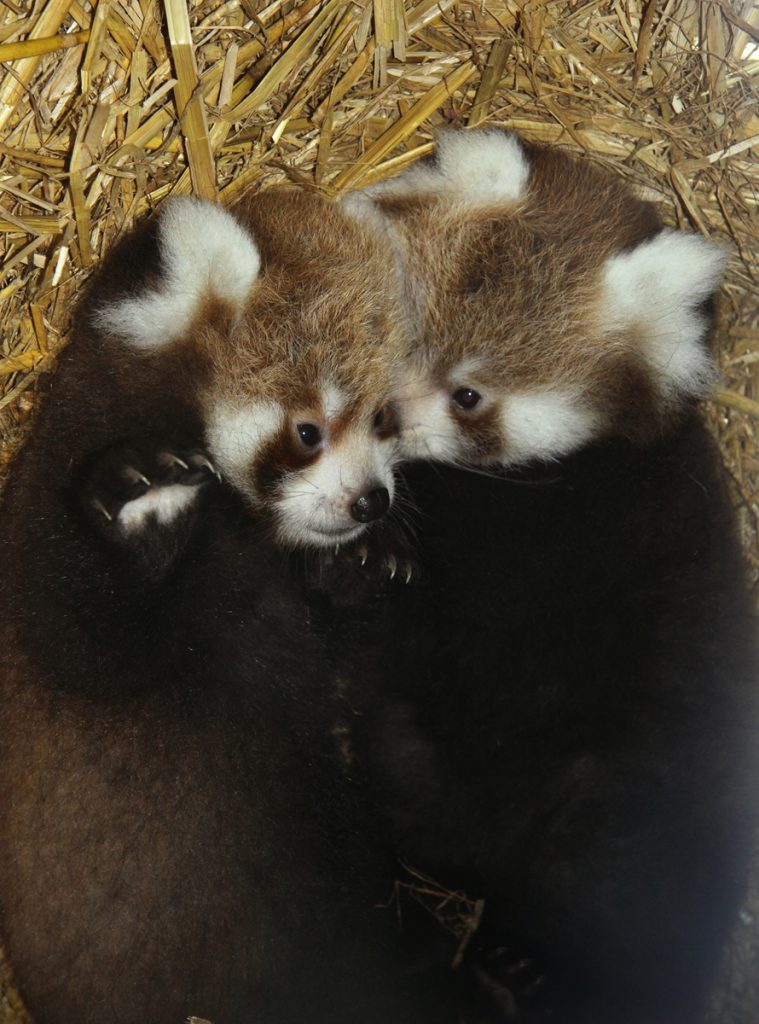 Two Lang Za cubs, Tiffany and Cherry