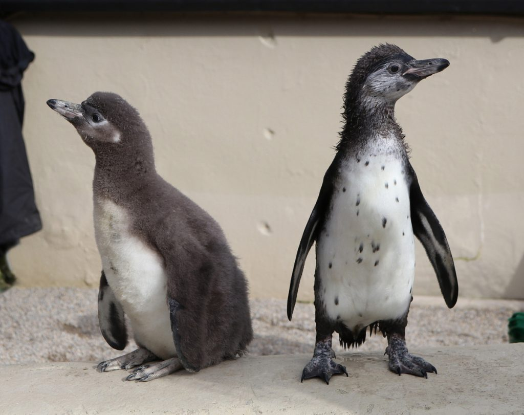 Baby Penguins Paloma left and Peaches right
