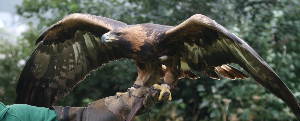 Golden Eagle Talis Paradise Park Cornwall