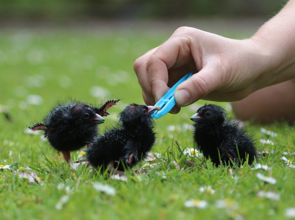 Hand feeding Purple Gallinule chicks