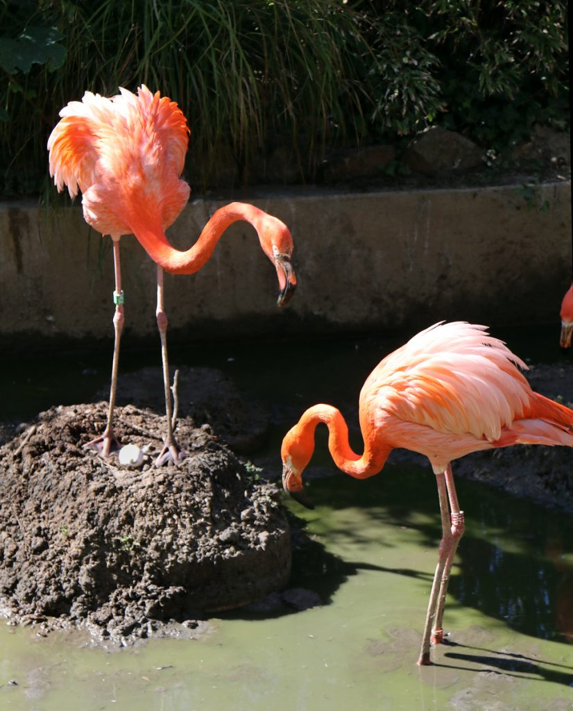 Caribbean Flamingo parents share caring for the egg