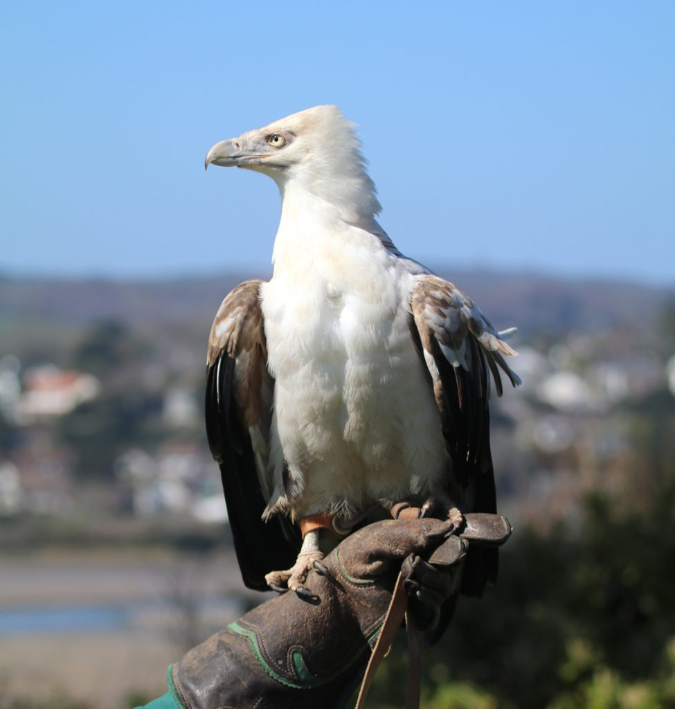 Tangee the Palm-nut Vulture at Paradise Park 3