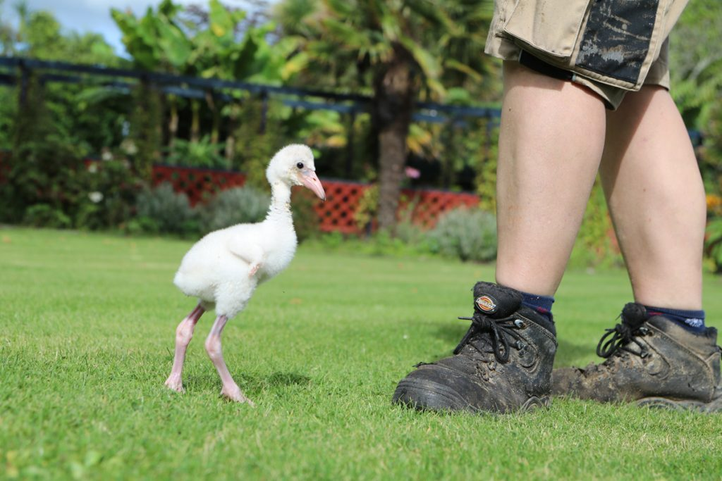 Day 13 Flamingo chick getting bigger than the boots he follows