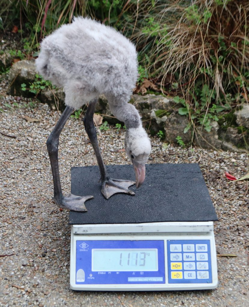 Day 42 Derek On scales (1113g)
