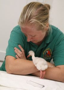 Day 5 Becky and chick after feeding