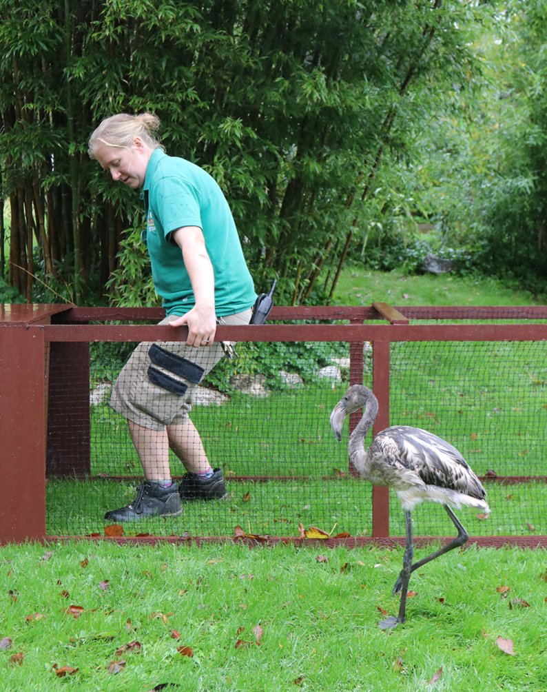 Day 74 Becky moving the pen off the lawn and Derek looking on at Paradise Park Cornwall