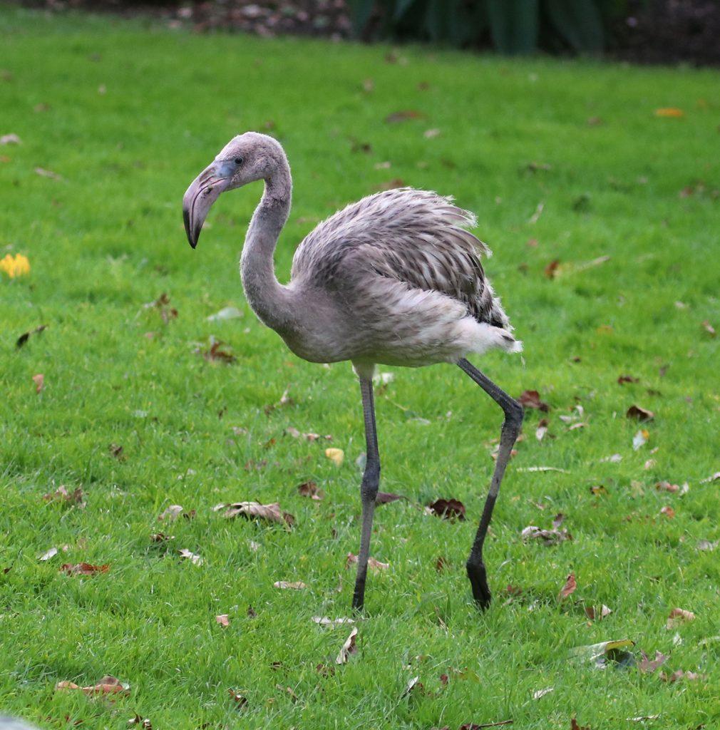 Day 81 Derek's a big grey flamingo now