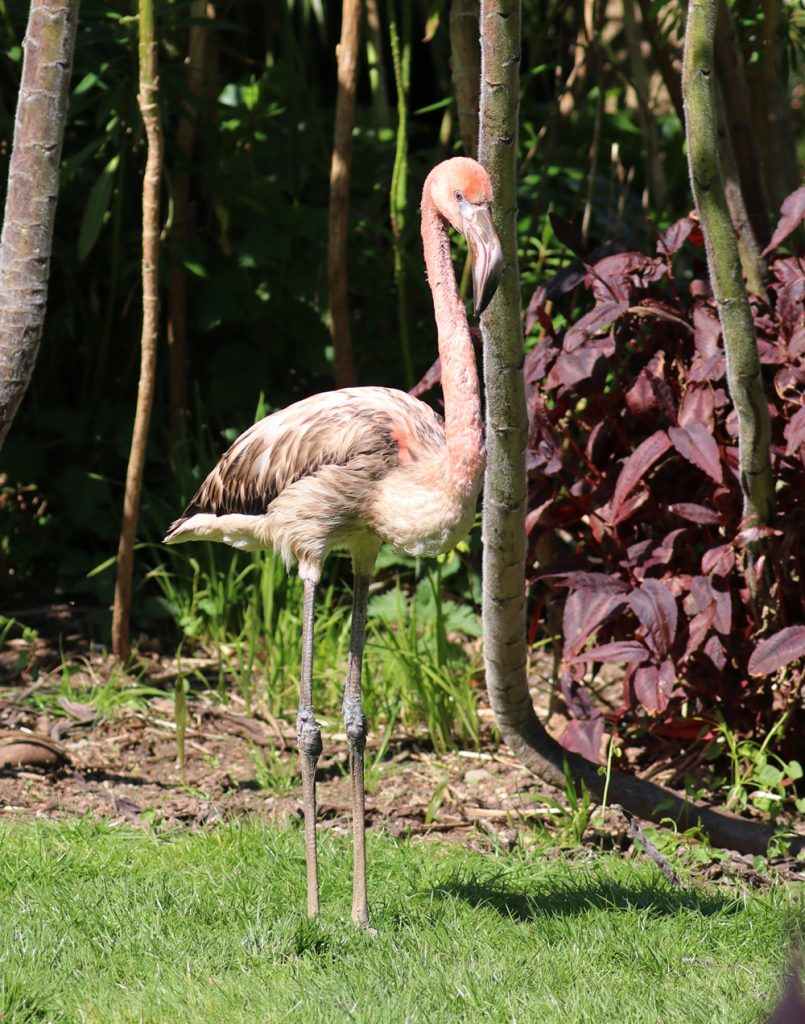Derek the flamingo now staying out all night Paradise Park