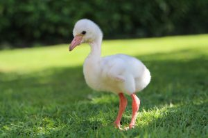Flamingo Chick Standing on Day 4 at Paradise Park in Hayle Cornwall