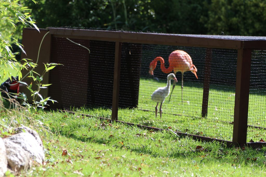 Flamingo chick and flock start to interact