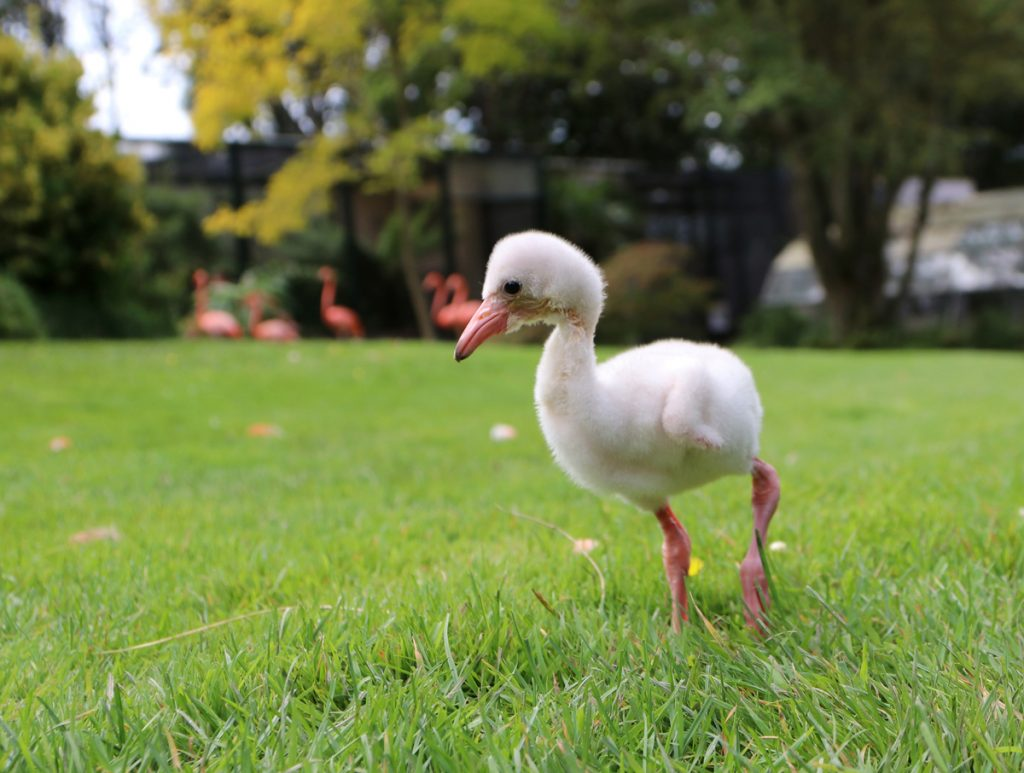 Flamingo chick Day 8