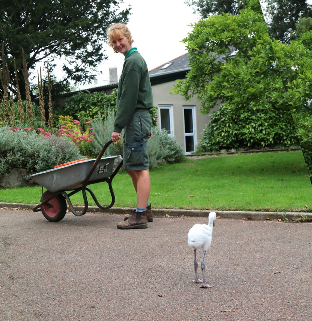 Flamingo chick Derek following Keeper Izzy